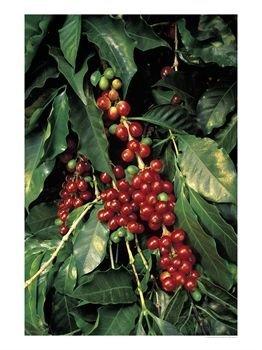 кофейные зерна на дереве / Coffee Beans on Tree