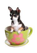 маленькая собачка в чашке