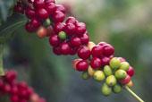 coffeeberry кофейные ягоды