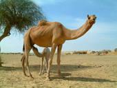 Молоко верблюда теперь добавляют в шоколад