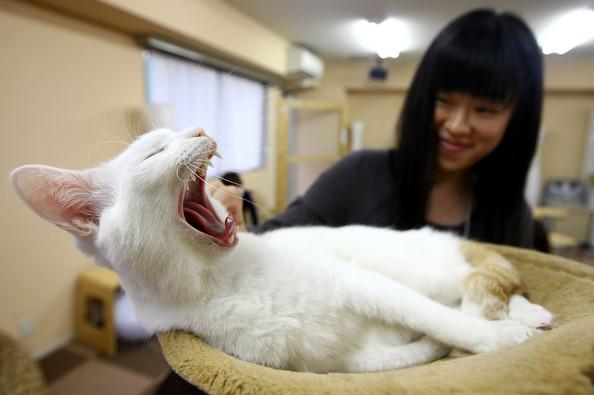 Кот в кафе cat cafe (Япония)
