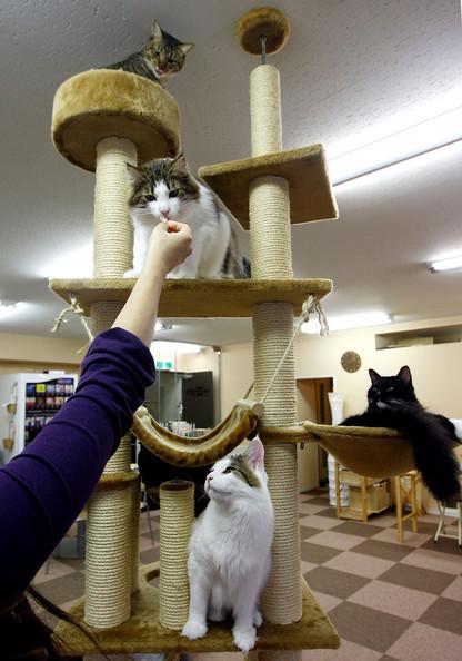 Кафе с кошками в Японии cat cafe