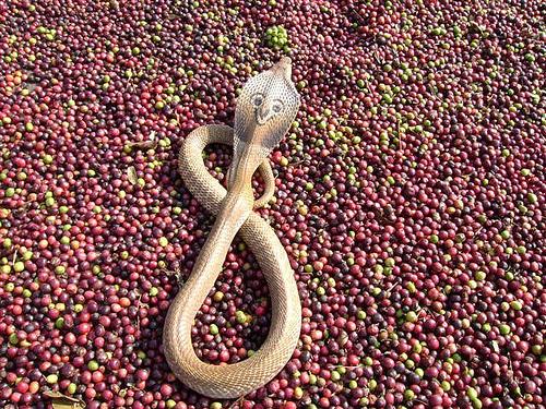 Кобра на зернах кофе в Индии