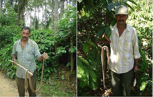 Сбощик кофе поймал кобру среди кофейных деревьев в Индии