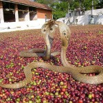 Кобры на кофейных зернах