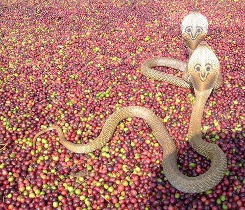 Кобры дерутся на кофейных зернах