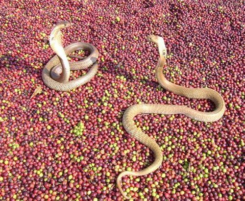 Кобры дерутся на зернах кофе в Индии