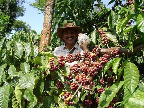 Кобра среди веток кофейного дерева в Индии и сборщик кофе