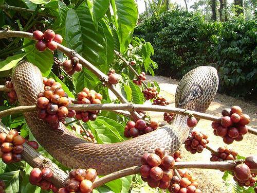 Кобра среди веток кофейного дерева в Индии