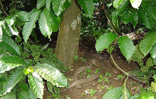 Кобра среди кофейных деревьев в Индии