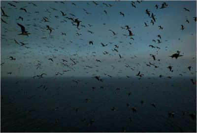 Морские птицы гуано