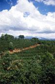 Рождение кофе - кофейная плантация