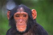 Кофе спас шимпанзе в Танзании